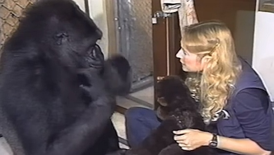 Gorila nížinná, Koko