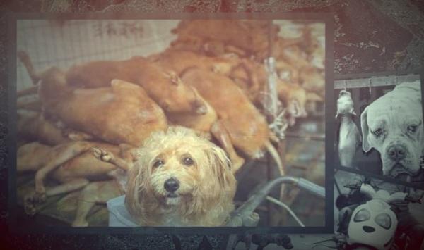 Dog meat festival Yulin